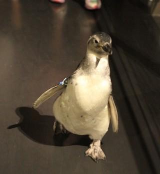 """Source: Sumida Aquarium """"Taiko"""" penguin walk last year"""