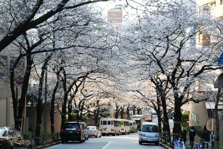 ≪Cherry Blossom Spots≫ ARK Hills
