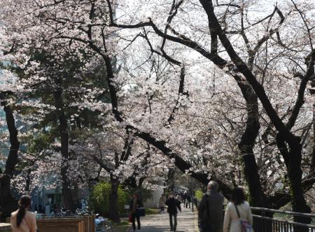 ≪Cherry Blossom Spots≫ Sotobori Park