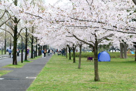 ≪Cherry Blossom Spots≫ Toneri Park
